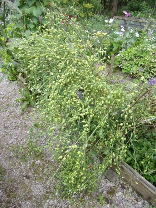 Munchen Bier radish seed pods
