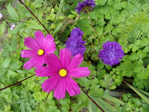 asters with cosmos