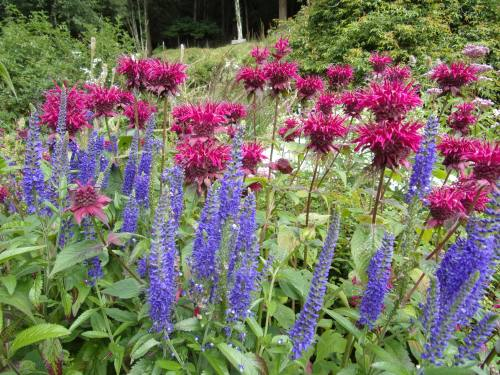Monarda in the cottage garden