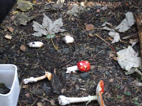 Fly Agaric and Orange Grisette